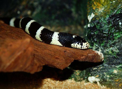chain natter natter snake