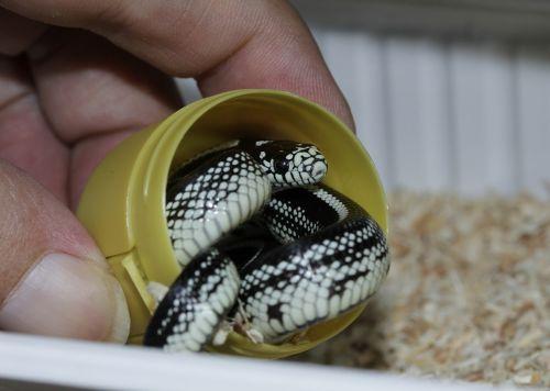 chain natter snake hand