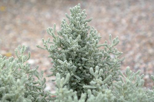 chamaecyparissus dwarf shrub bush