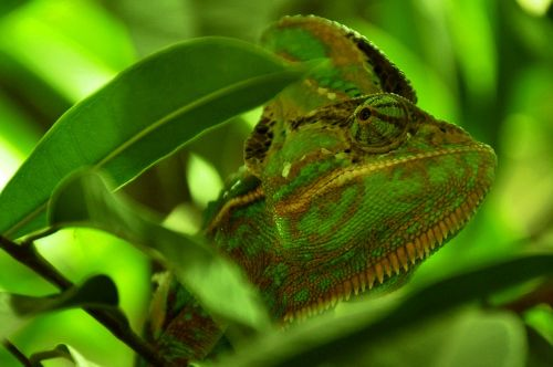 chameleon reptile animal