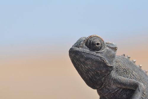 chameleon desert namib desert