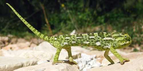chameleon mediterranean chameleon lizard