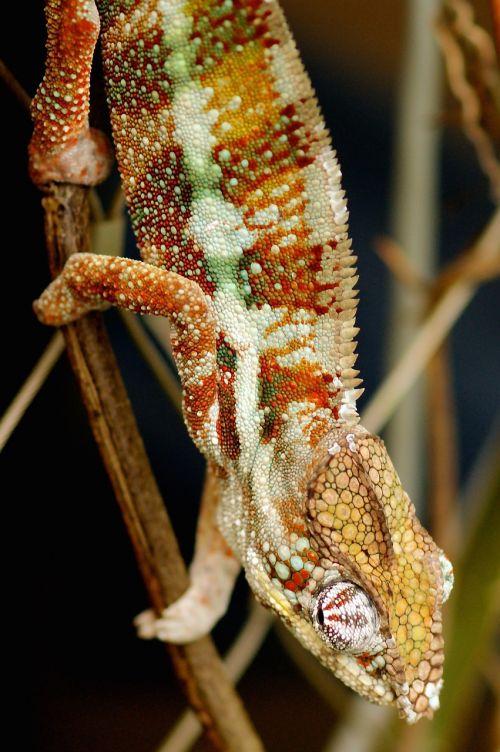 chameleon lizard animal world