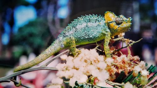 chameleon animal colorful