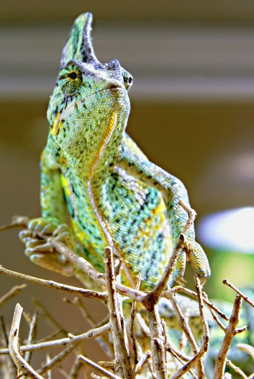 chameleon animals green