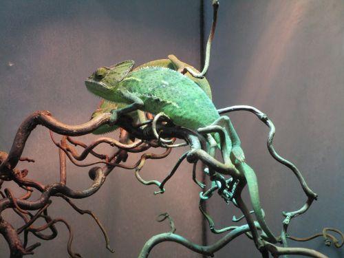 chameleon terrarium lizard