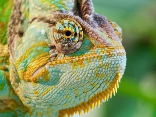 chameleon colour colour change