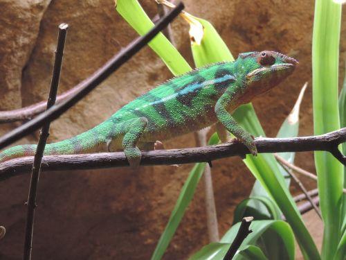 chameleon color animal