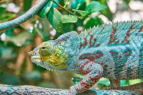 chameleon camouflage exotic