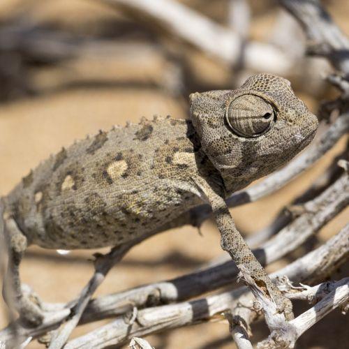 chameleonas,dykuma,ropliai,smėlis,Namib dykuma,Uždaryti,Namibija,namib,gamta