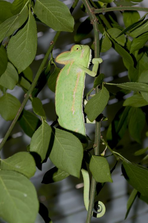 chameleon camouflage leaves