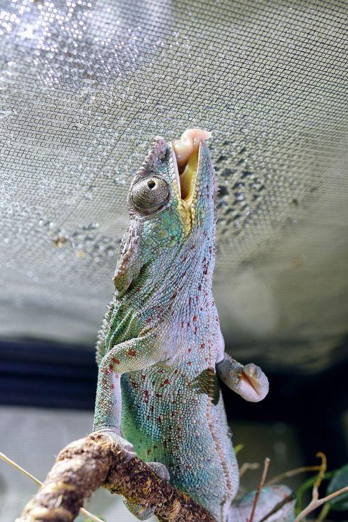 chameleon chameleon tongue head