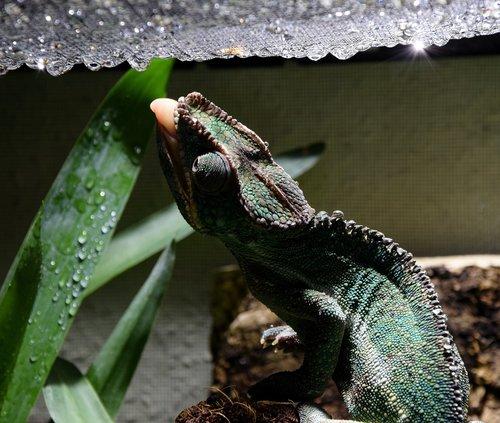chameleon  chameleon tongue  drop of water