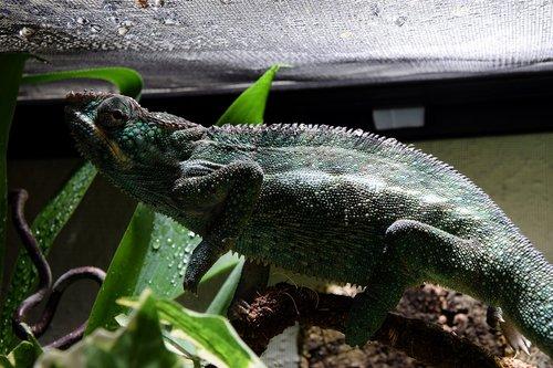 chameleon  drop of water  terrarium