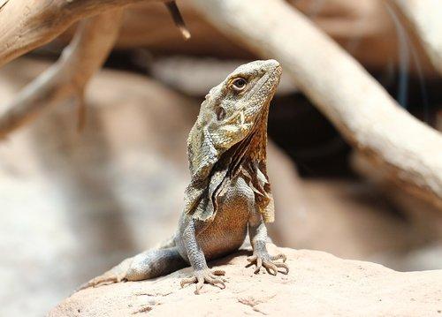 chameleon  reptile  animal world