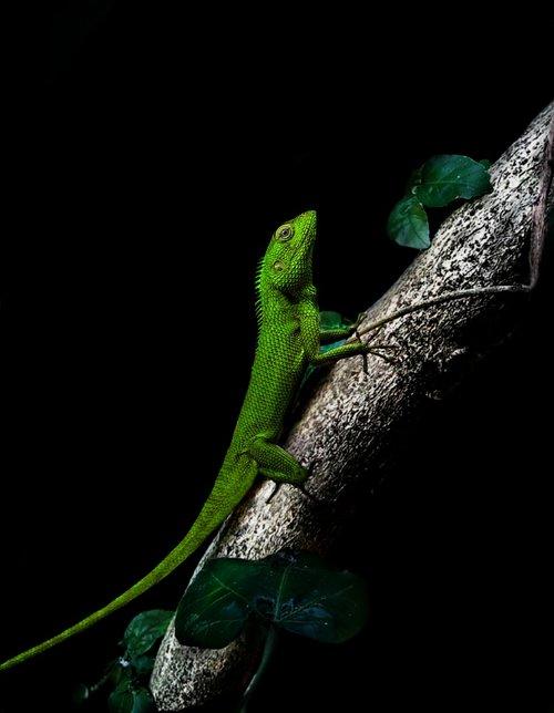 chameleon  dark  tree
