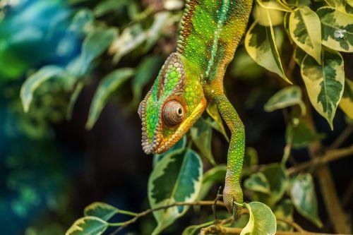 chameleon párduckaméleon furcifer pardalis