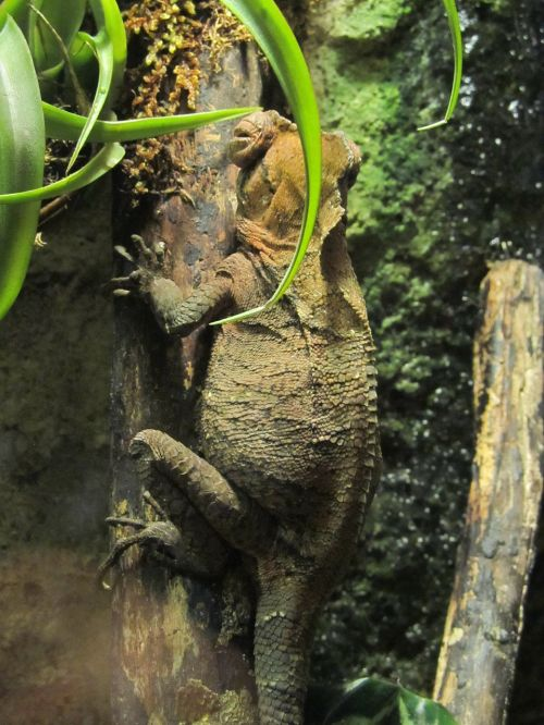 chameleon warty reptile