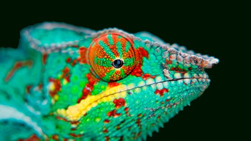 chameleon  beautiful chameleon  green