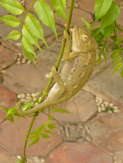 chameleon reptile insect eater