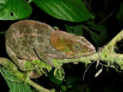 chameleon reptile madagascar