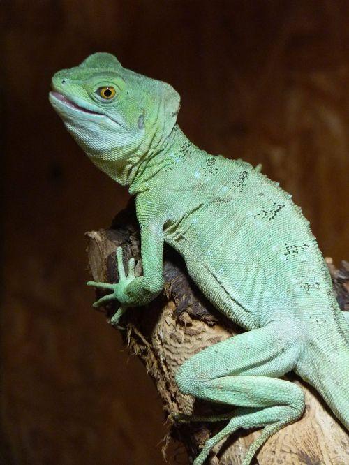 chameleon chamaeleonidae reptile
