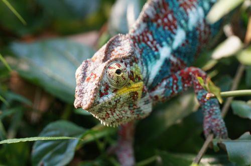 chameleon lizard insect eater