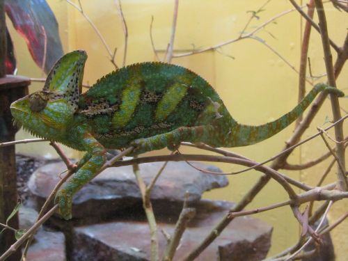 chameleon lizard green