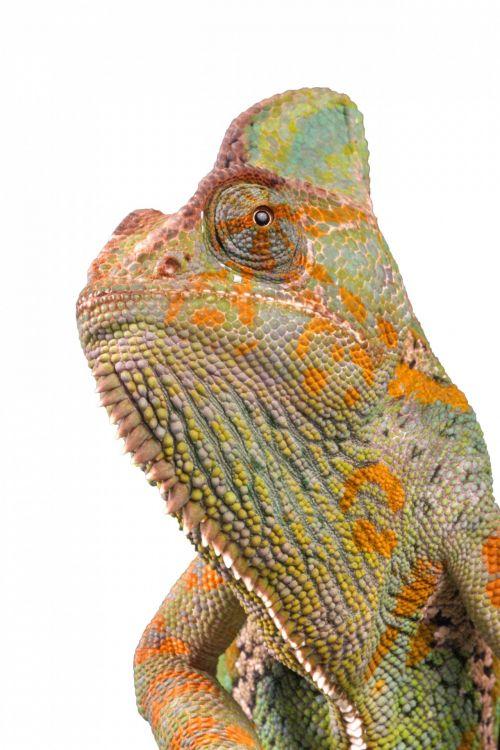 chameleonas, makro, portretas, galva, Iš arti, izoliuotas, balta, fonas, jemenas & nbsp, chameleonas, uždengtas & nbsp, chameleonas, driežas, drakonas, ropliai, žvynuotas, svarstyklės, gamta, laukinė gamta, nuotrauka, vaizdas, chameleonas izoliuota makro