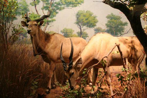 chamois zoo nature