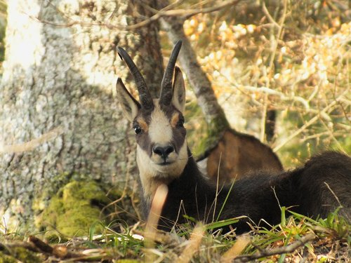 chamois  forest  wild