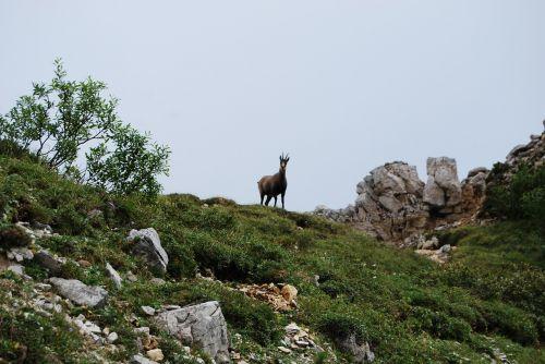 chamois mountain animal