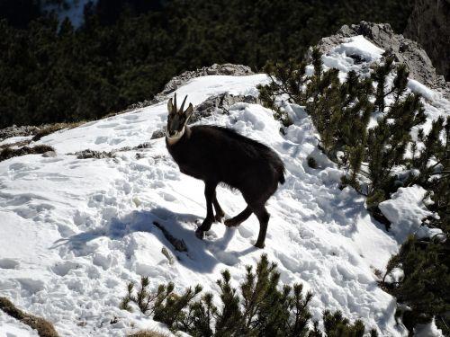 chamois snow animal