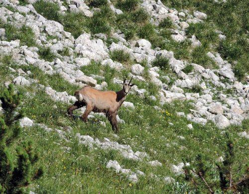 chamois mountain green