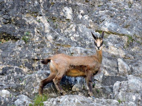 chamois mountain rock