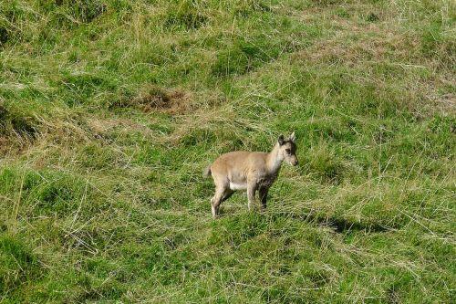chamois mountain animals
