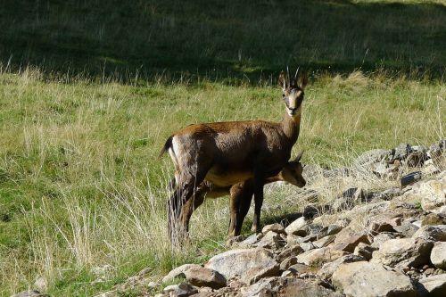 chamois animals mountain