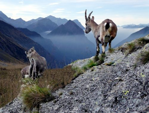 chamois with young animals high mountains switzerland
