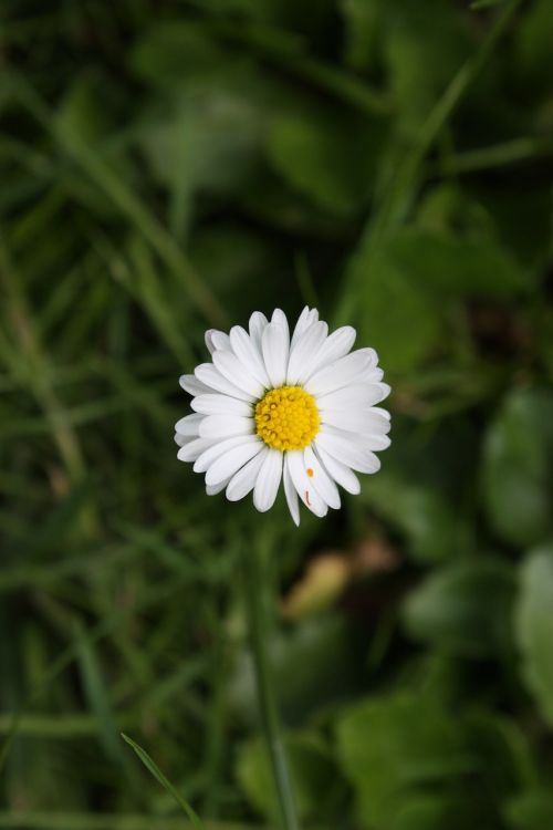 chamomile daisy flower