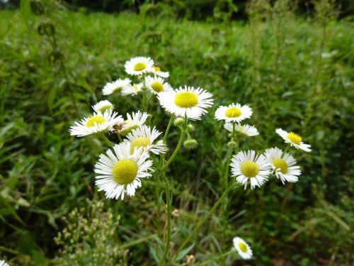 chamomile herbs grassland plants