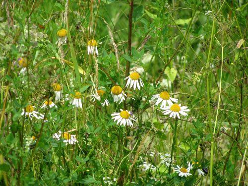 chamomile camomile daisy