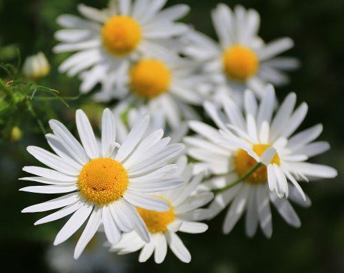 chamomile flowers daisy