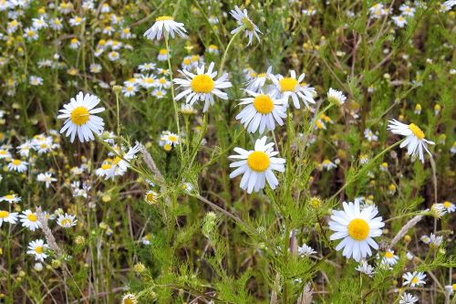 chamomile chamomile blossoms medicinal herbs