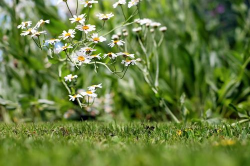chamomile ornamental camomile flower