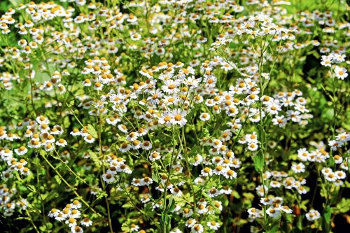 chamomile ornamental camomile flowers
