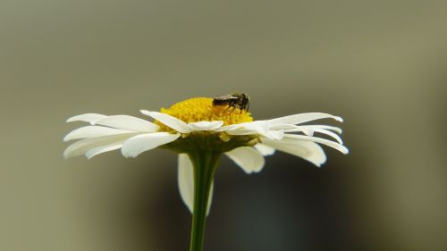 chamomile insect fly