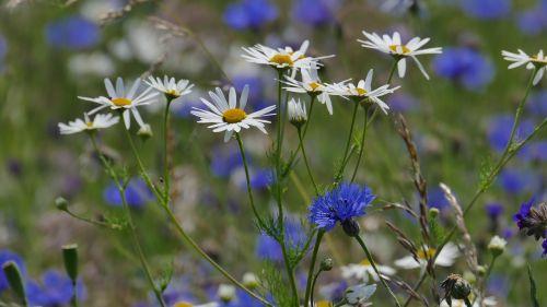 chamomile cornflower wild grasses