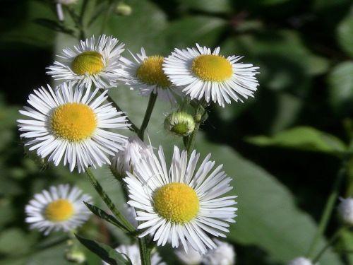 chamomile leaflet flower