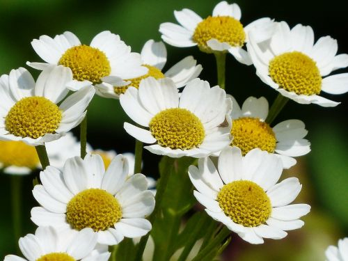 chamomile scentless chamomile flower