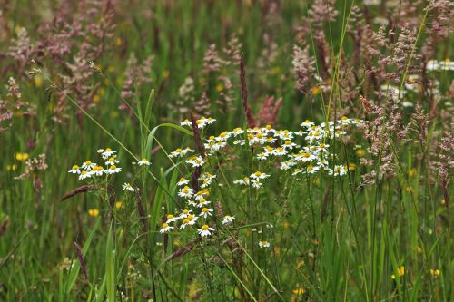 chamomile wild meadow green